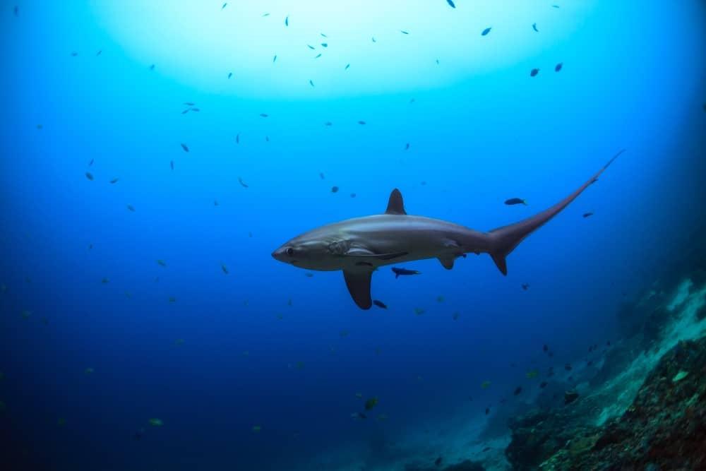 tiburón zorro en Monad Shoal, Malapascua