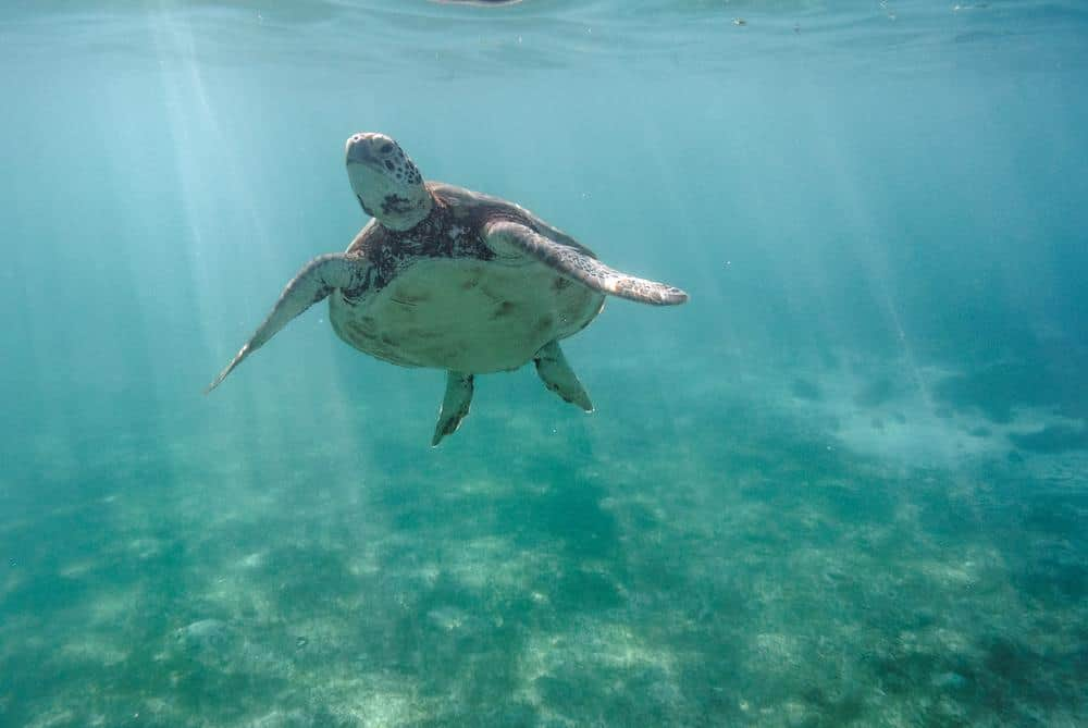 tortugas en Port Barton
