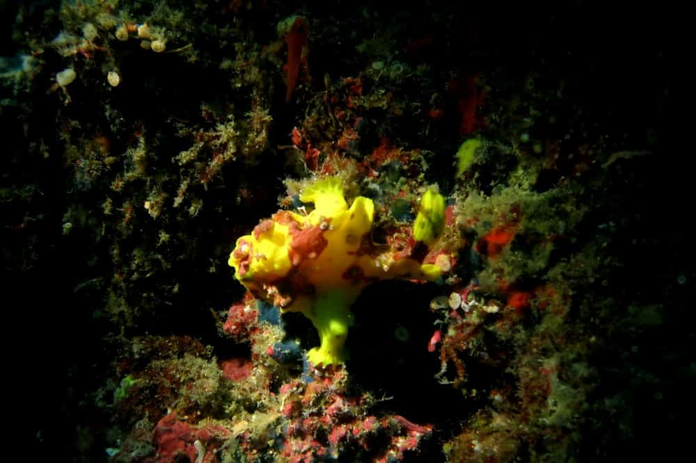 Frog Fish diminuto en Filipinas