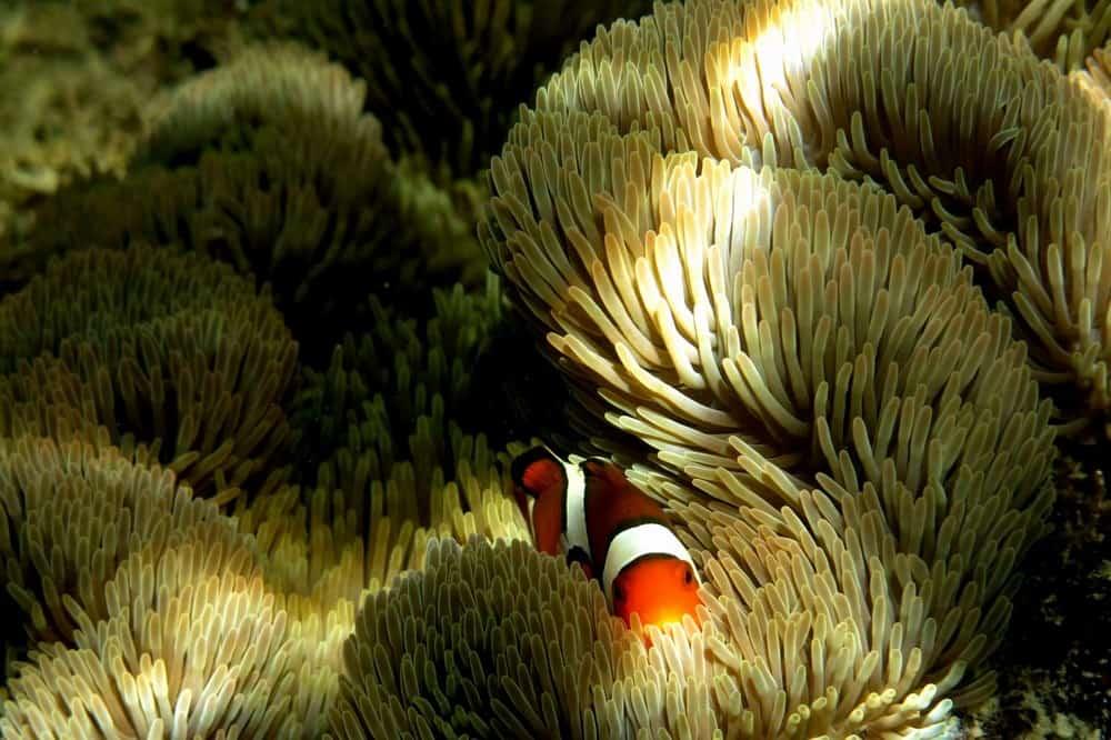 Anémona y pez payaso en Filipinas