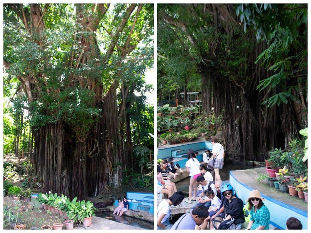 Limpieza de pies Old Balete Tree Siquijor
