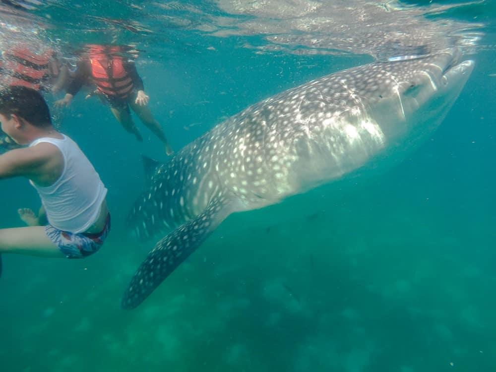 Un montón de gente en Oslob con el tiburón ballena