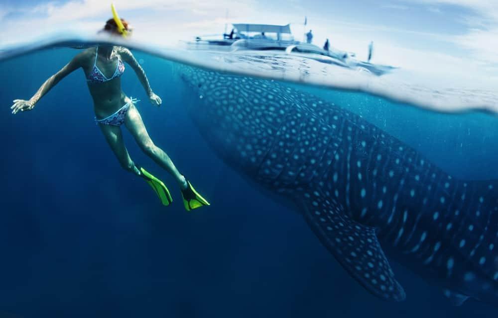 Nadando con el tiburón ballena en Puerto Princesa