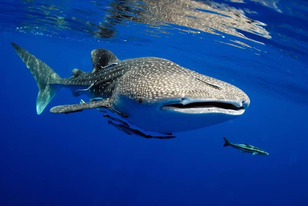 Nadar con el tiburón ballena en Filipinas