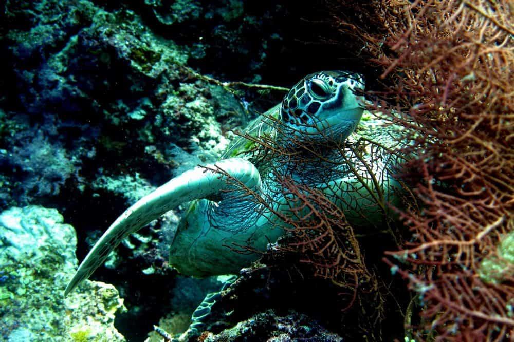 Algo que hacer en Filipinas: snorkel con tortugas