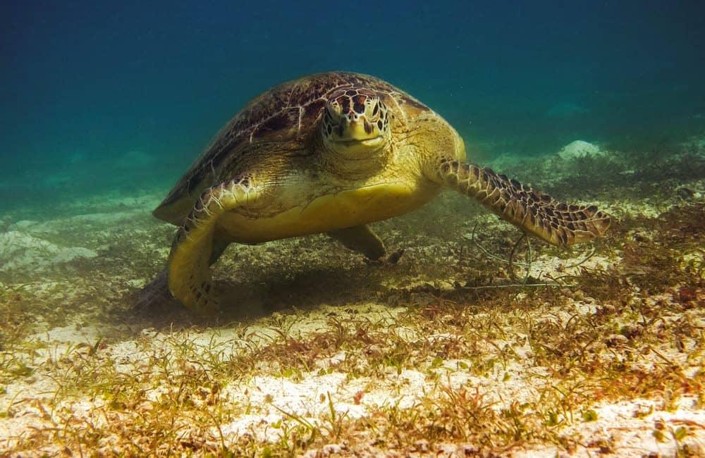 snorkel en Filipinas: Port Barton tortuga