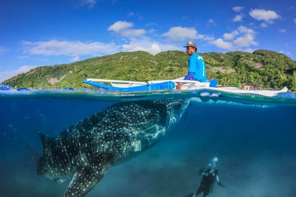 feeding del tiburón ballena en Oslob