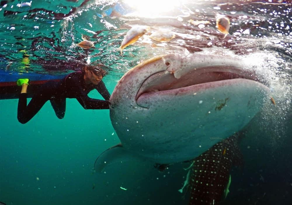 turista tocando al tiburón ballena en Oslob