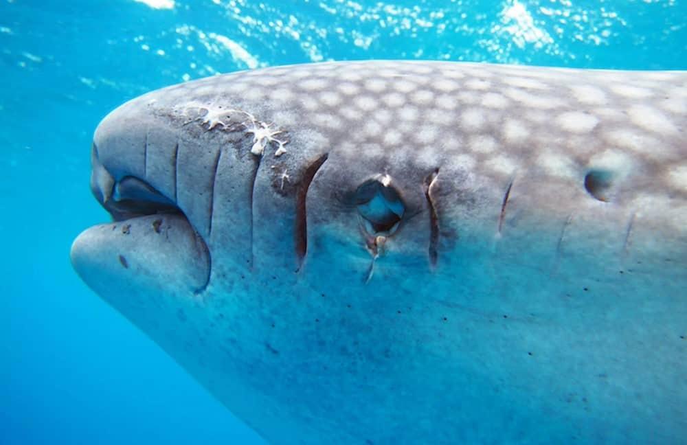 heridas de gravedad en el tiburón ballena