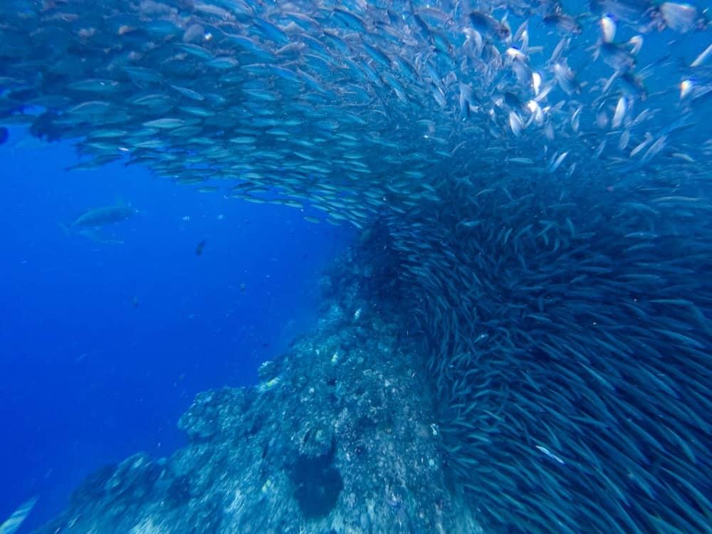 banco de sardinas en Panglao