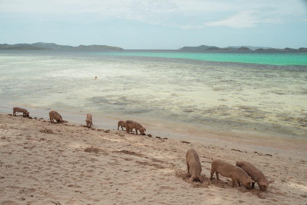 cerditos en Coconut Beach