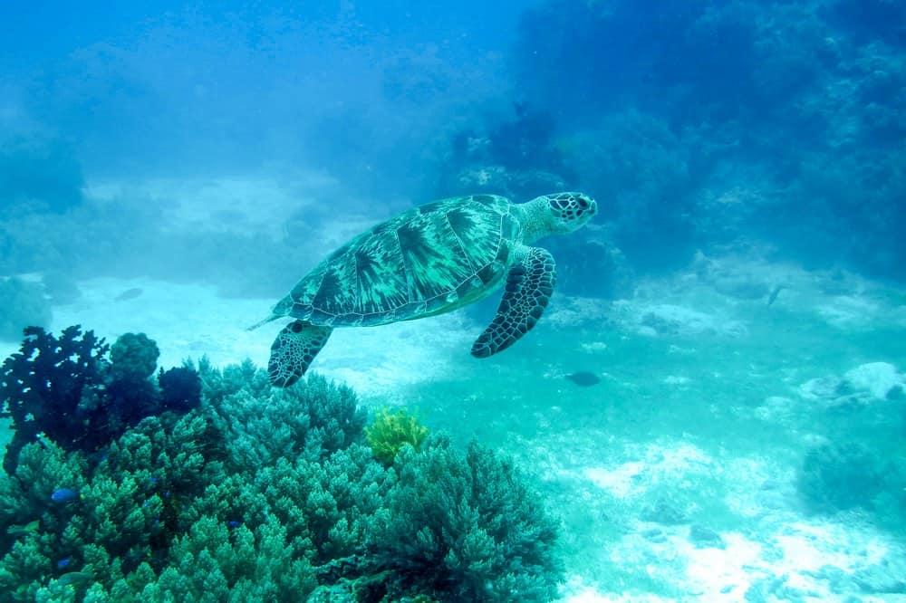 tortuga verde en Balicasag