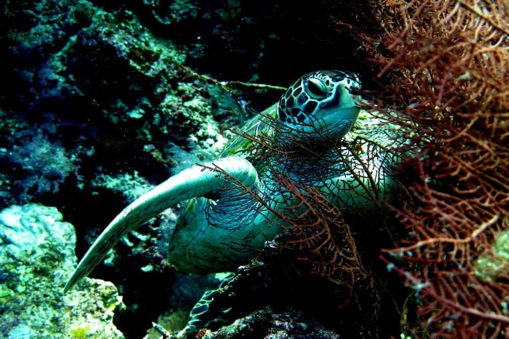 nadar con tortugas en Apo Island