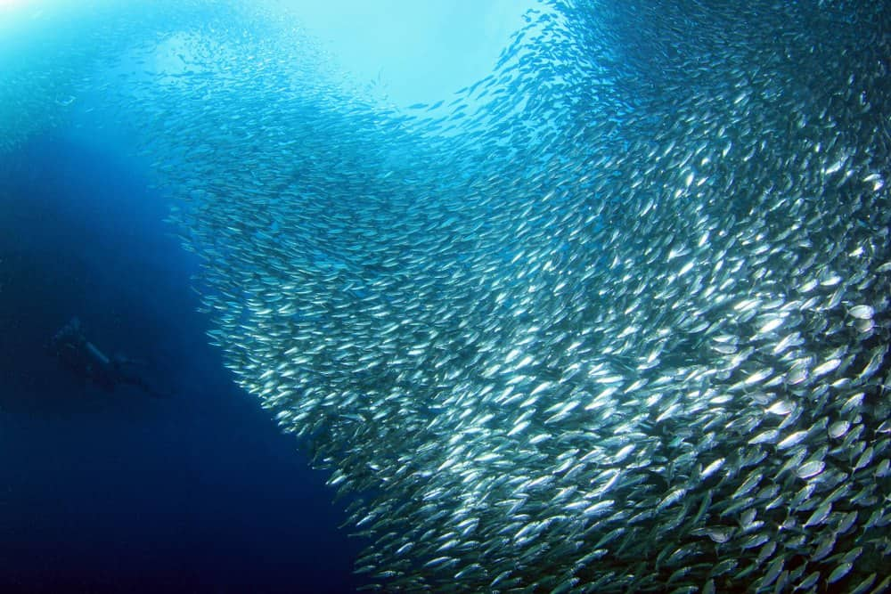 inmersiones filipinas sardine run moalboal