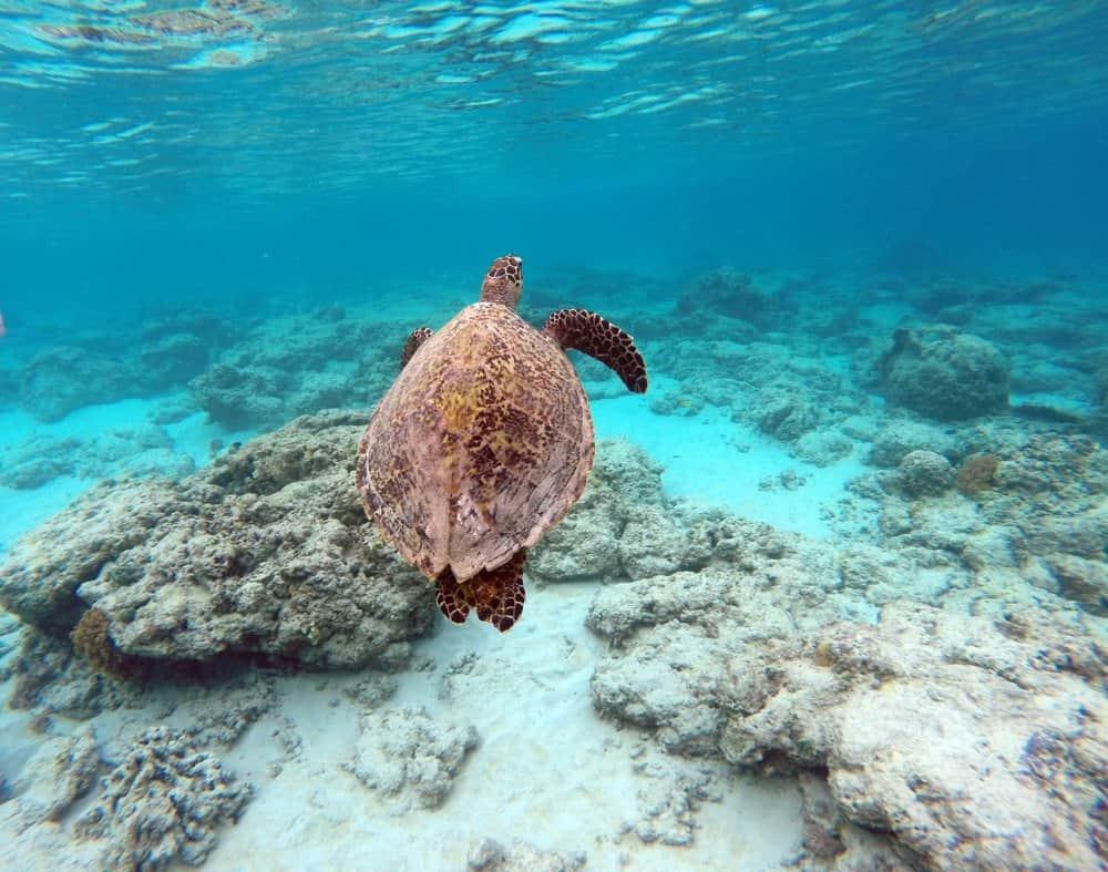 esnórquel bohol tortugas